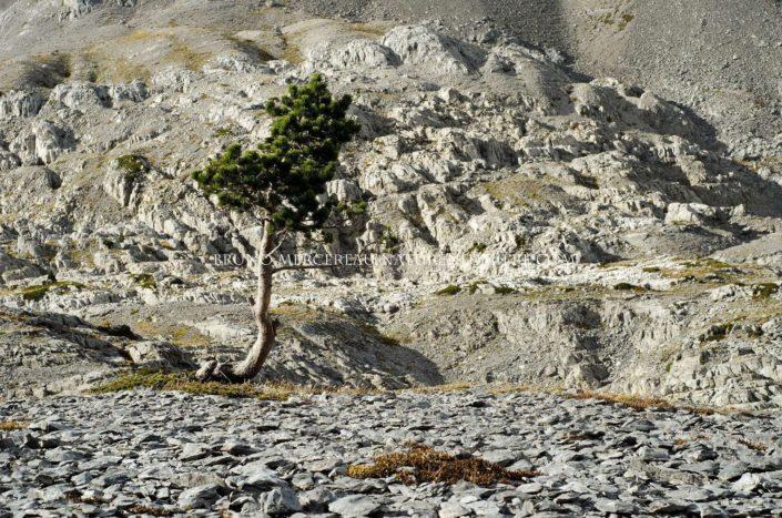Pin à crochet poussant dans les karsts du Pic d'Anie